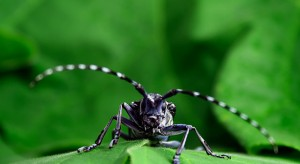 asian-longhorned-beetle-640x35